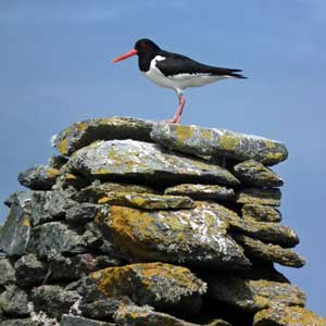 Oystercatchers are masters of all they survey on Inishkea. Photo: Anthony Hickey