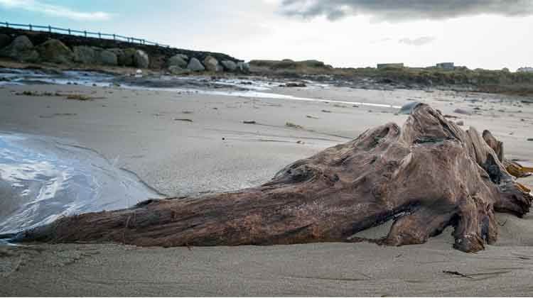 The preserved tree stump on Doohoma beach is over 5,000 years old and looks like some giant pre-historic sea creature frozen in time. Photo: Anthony Hickey