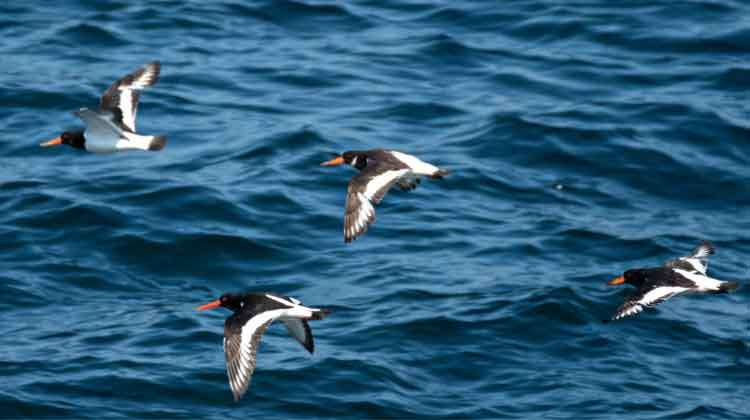 Oystercatchers in flight near Kilcummin, Co Mayo. Photo: Anthony Hickey