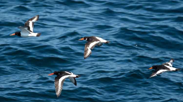 Oystercatchers in flight near Kilcummin, Co Mayo. Photo: Anthony Hickey