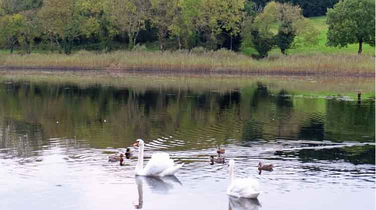 Swans and ducks make a pretty picture on Lough Lannagh, Castlebar. Photo: Anthony Hickey