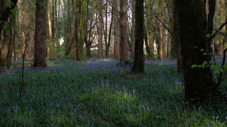 A bluebell haze in Belleek Wood. Photo: Anthony Hickey