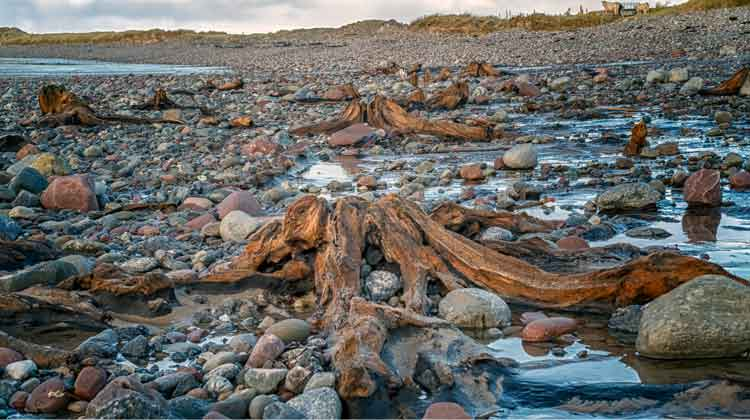 The ancient tree stumps and roots on Doohoma beach in Co Mayo are believed to be over 5,000 years old and are still in remarkably good condition. Photo: Anthony Hickey