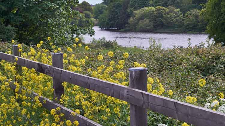 Above the tangled briars along Ballina's Quay Road yellow blooms of wintercress and white cow parsley frame the River Moy. Photo: Anthony Hickey