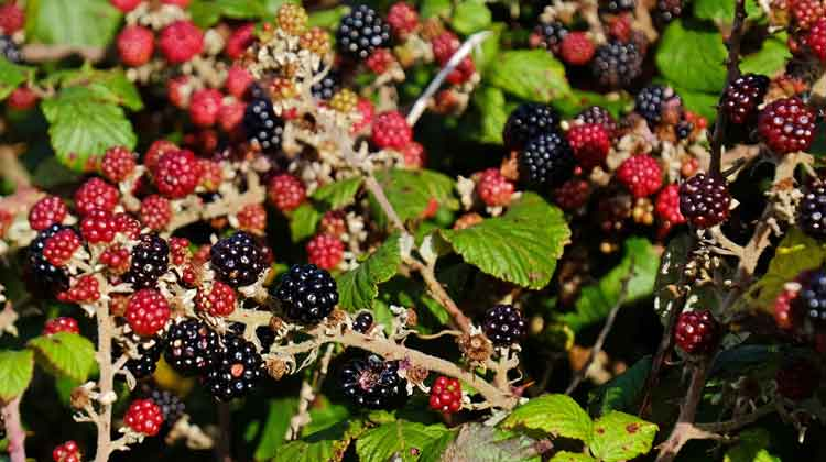 Blackberries in various stages of ripening. Photo: Anthony Hickey