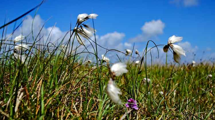 Tufts of Bog Cotton swaying in a gentle May breeze in Muingdoran, Geesala, Co Mayo. Photo: Anthony Hickey
