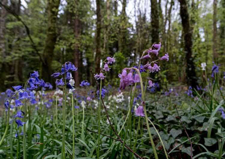 White and pink hybrids among the bluebells in Belleek Wood. Photo: Anthony Hickey