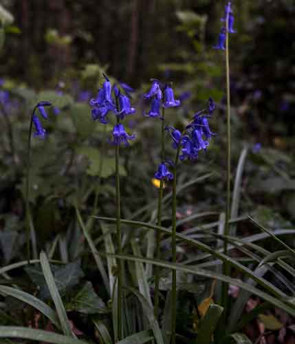 Bluebells can be found throughout Belleek Wood, Ballina, Co Mayo. Photo: Anthony Hickey