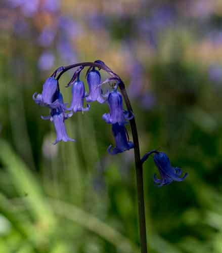 The bluebell (Hyacinthoides non-scripta) in Belleek Wood, Ballina, Co Mayo. Photo: Anthony Hickey