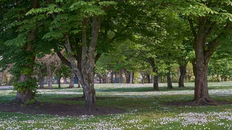 A sea of daisies beneath a chestnut grove in Ballina Town Park. Photo: Anthony Hickey