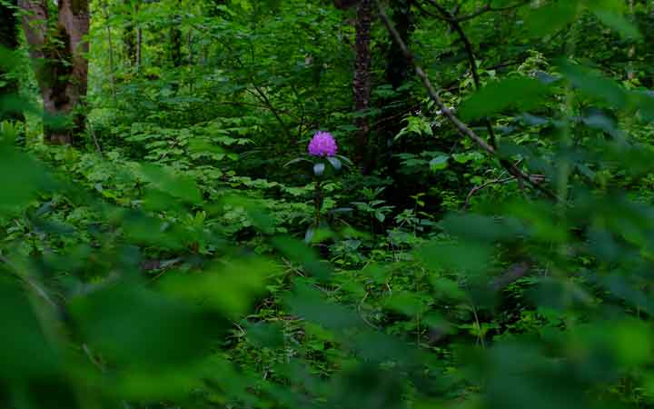 A lone rhododendron flower looks even more beautiful amid the early summer greenery of Enniscoe wood. Photo: Anthony Hickey