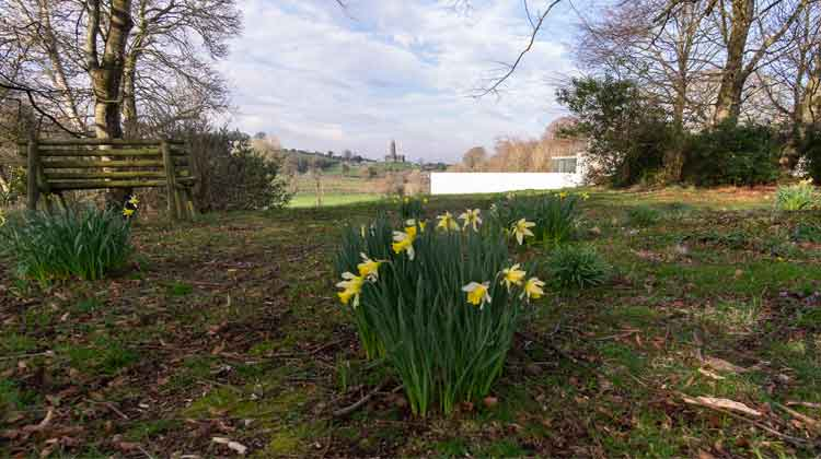 Daffodils in Turlough Park. Photo: Anthony Hickey