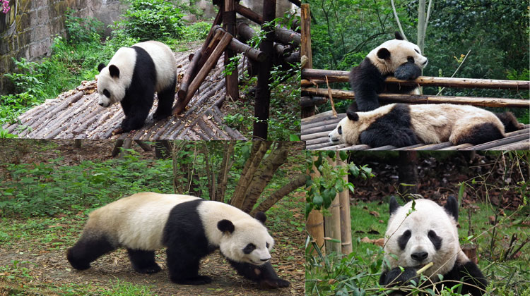 Pandas in the Chengdu Research Base of Giant Panda Breeding in Chengdu, China. The endangered animals appear to just eat bamboo shoots and sleep. Photo: Anthony Hickey