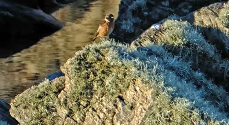 A Stonechat perches on the rocks at Annagh Head. Photo: Anthony Hickey
