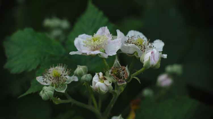 The delicate white-pink flowers of the blackberry bush in Spring. Photo: Anthony Hickey