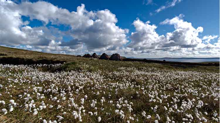 Bog Cotton, Benwee Head, Co Mayo. Photo: Anthony Hickey
