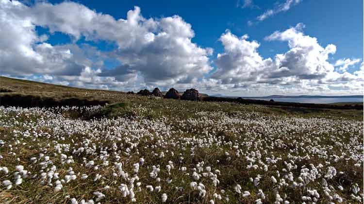 Bog Cotton, Benwee Head, Co Mayo. Photo: Anthony Hickey