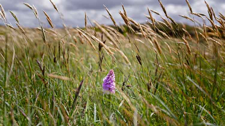 A Common Spotted-orchid (Dactylorhiza fuchsii) growing in wetlands at Muingdoran, Co Mayo. Photo: Anthony Hickey