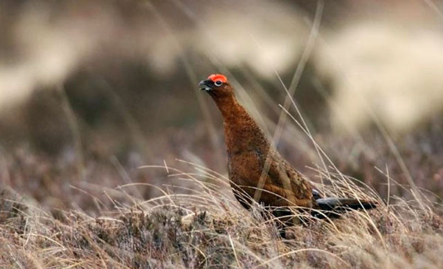 Red grouse numbers are increasing in Mayo