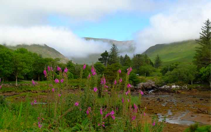 A bloom of foxgloves near Delphi, Co Mayo. Photo: Anthony Hickey