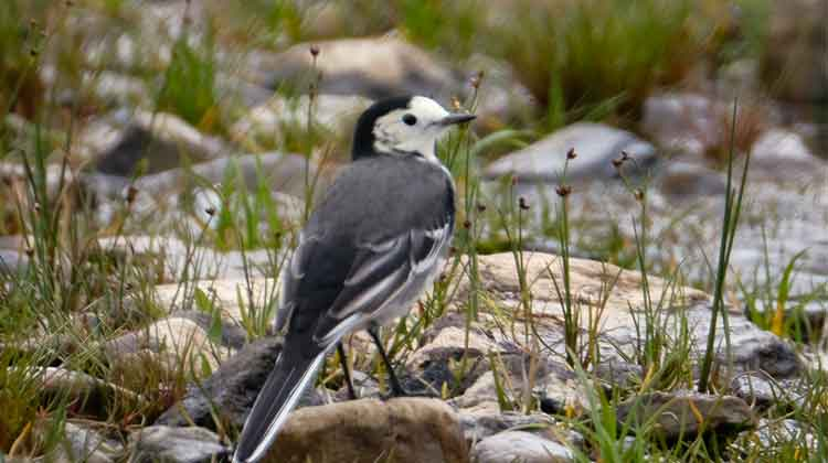 A Pied Wagtail checking out the visitors to Drumleen Loop Walk. Photo: Anthony Hickey