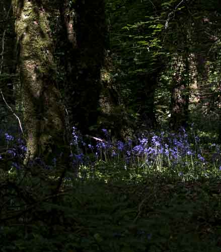 Morning sun lighting up bluebells in Belleek Wood, Ballina, Co Mayo. Photo: Anthony Hickey