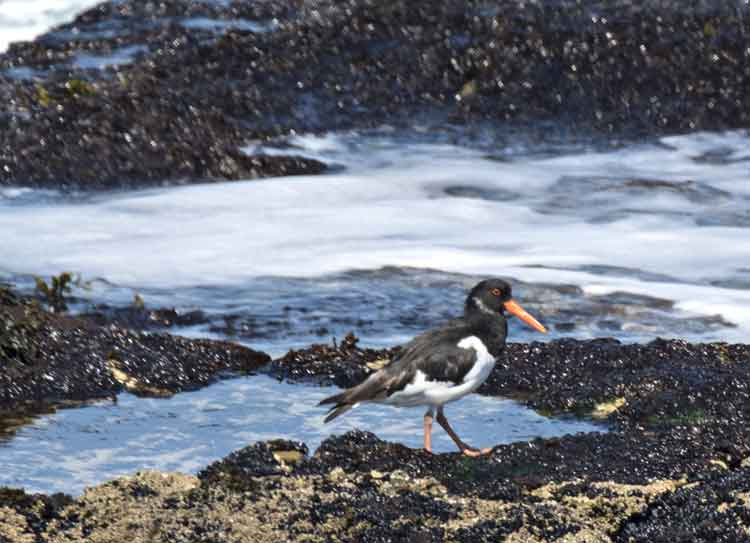 Oystercatchers foraging for mussels and cockles between the rocks on the seashore at Kilcummin, Co Mayo. Photo: Anthony Hickey