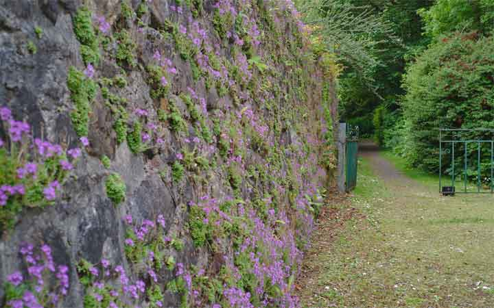 The fairy foxgloves (Erinus alpinus) in bloom on the walls of Enniscoe's Victorian garden. Photo: Anthony Hickey