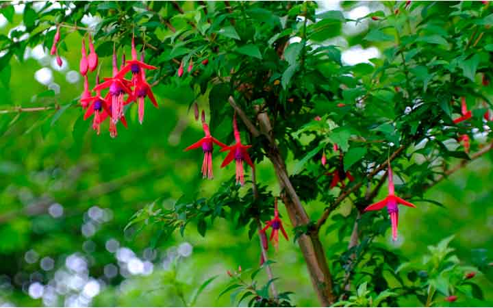 Beautiful bell-shaped fuschia flowers at Enniscoe. Photo: Anthony Hickey