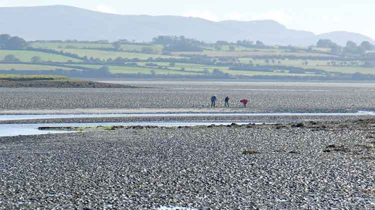 Picking cockles and mussels at Bullockspark, near Killala, Co Mayo. Photo: Anthony Hickey
