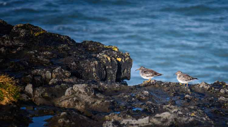 The Purple Sandpipers, perched on the cliff-top at Kilcummin Head, Co Mayo, breed on Devon and Baffin Islands in the Eastern Canadian Arctic. Photo: Anthony Hickey