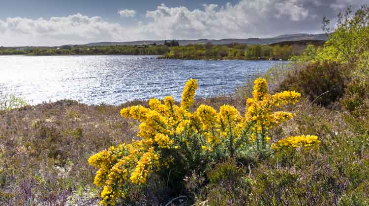 Whins in full bloom at Derryhick Lake, Co Mayo. Photo: Anthony Hickey