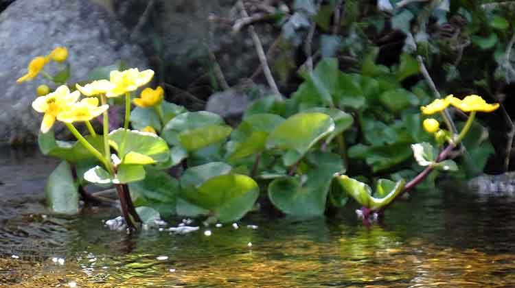 Fringed Waterlilies growing along the bank of a small river that flows out of Derryhick Lake, Co Mayo. Photo: Anthony Hickey