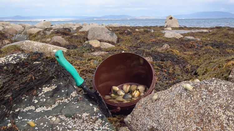 Filling a bucket full of tasty cockles on Eachleim beach, Co Mayo. Photo: Anthony Hickey
