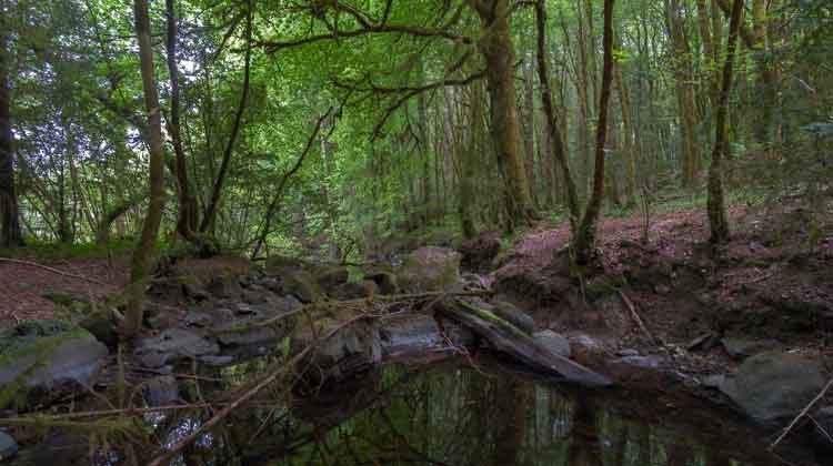 Cong Wood. one of Mayo's temperate rainforests, where underground rivers from Lough Mask have eaten through the soft limestone as they flow into nearby Lough Corrib. Photo: Anthony Hickey
