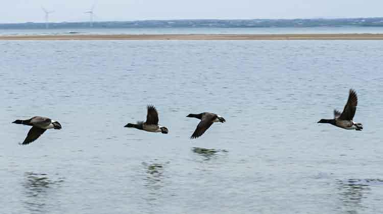 Brent geese in flight at Ross beach, Killala, Co Mayo. Photo: Anthony Hickey