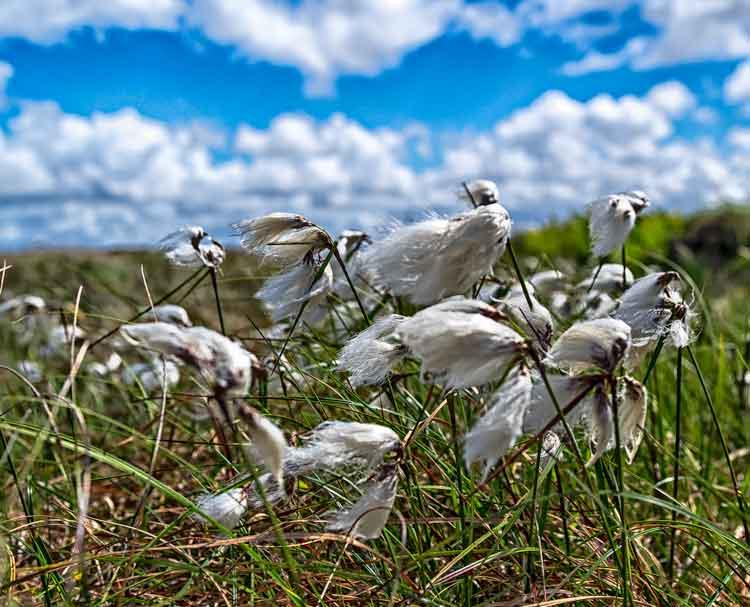 Bog Cotton growing near Muingdoran, Geesala, Co Mayo. Photo: Anthony Hickey