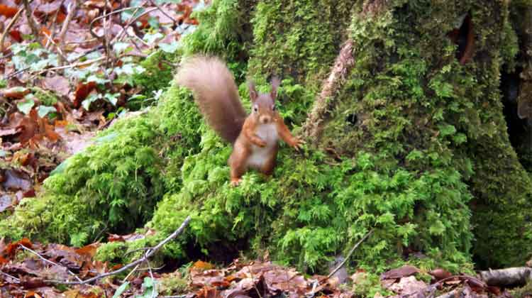 One of the red squirrels introduced to Belleek Wood, Ballina, in 2007, and is one of the the woodland's biggest attractions. Photo: Anthony Hickey