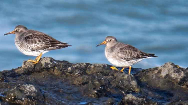 Purple Sandpipers perched on the cliff-top at Kilcummin Head, Co Mayo. Photo: Anthony Hickey