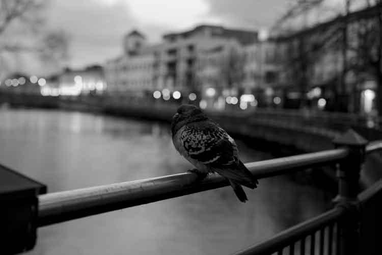 Goodnight! Bird on a bar, Rockwell Parade, Sligo. Photo: Anthony Hickey