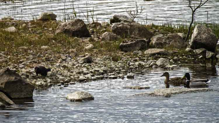 DUCK TALES: Meanie the Mink (look left on the rocky shore) was on the prowl along the shores of Lough Conn when he spotted a nice duck dinner! Fortunately, Mr and Mrs Mallard were more than a match for their hunter - and I'm glad to report that after several attempts to get close to his prey, Meanie the Mink had to give up. Photo Anthony Hickey