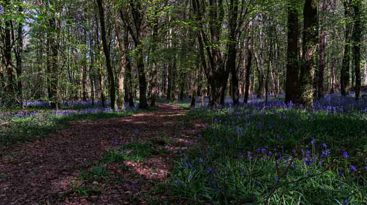 A bluebell blanket in Belleek Wood, Ballina, Co Mayo. Photo: Anthony Hickey