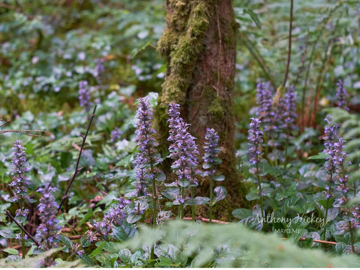 Bugles blooming in Belleek Wood, Ballina, Co. Mayo. Photo: Anthony Hickey