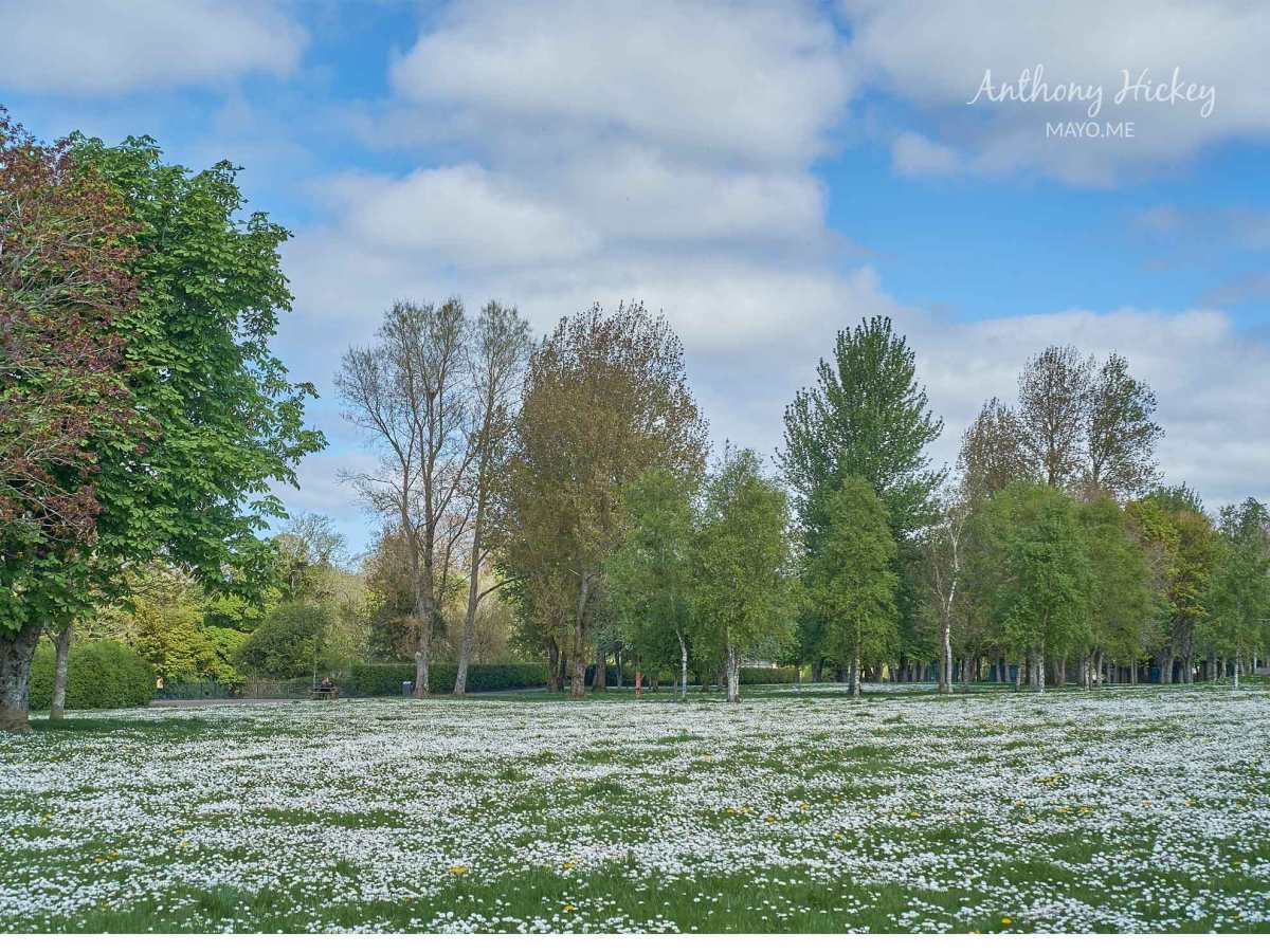 A sea of daisies in Ballina Town Park. Photo: Anthony Hickey