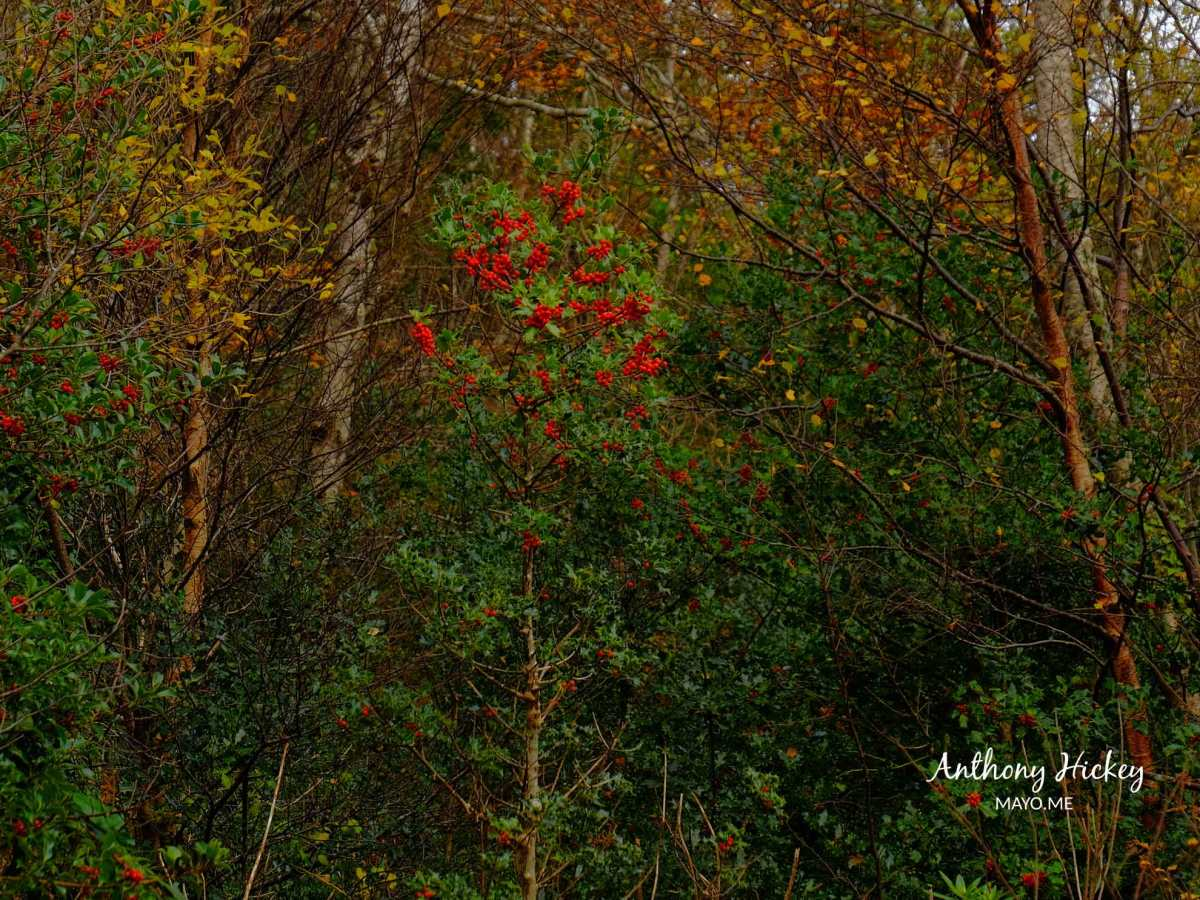 A holly tree in Brackloon Wood, Co. Mayo. Photo: Anthony Hickey