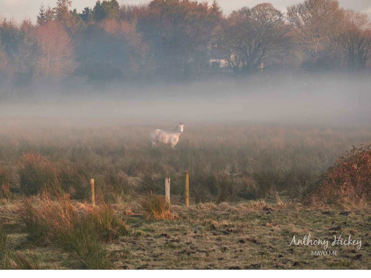 A white horse near a field in Ballina on a foggy winter morning. Photo: Anthony Hickey