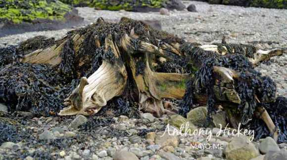 A pre-historic pine stump draped with dried bladder wrack, along the The Claggan Mountain Coastal Trail, Ballycroy, Co Mayo. Photo: © Anthony Hickey